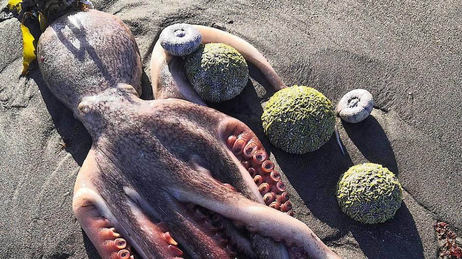 Ein toter Oktopus vor der Küste der russischen Halbinsel Kamtschatka.