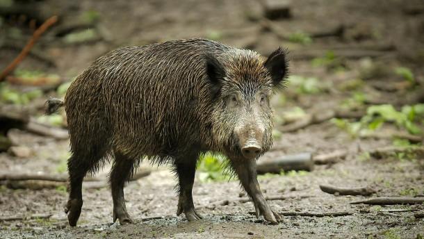 Jäger erlegen rund 84 000 Wildschweine
