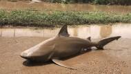 Auf dem Trockenen: Ein gestrandeter Hai in Ayr, Australien, liegt im Matsch.