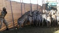 Zebras als Löwen-Futter