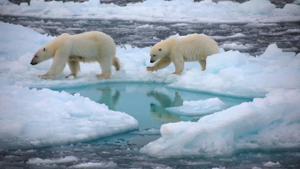 Klimawandel könnte Eisbären aussterben lassen