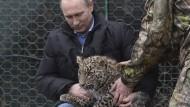 Der russische Präsident Wladimir Putin streichelt ein Leopardenjunges des Aufzugsprogramms am 3. Februar 2014.