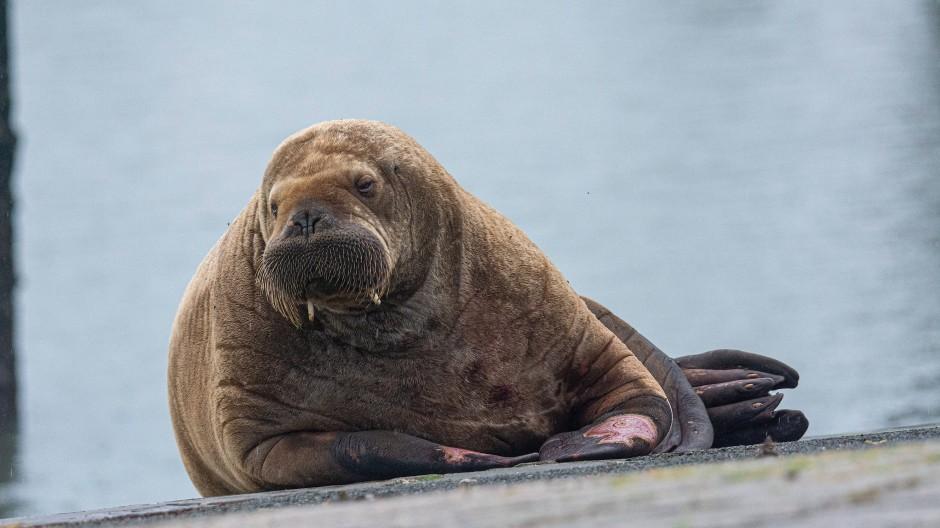 Eine Walross Dame auf Erkundungstour: Am Dienstag besuchte sie Baltrum, nun liegt sie auf der Nordsee-Insel Spiekeroog.