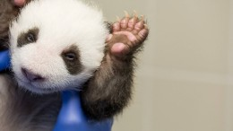 Panda-Zwillinge öffnen die Augen