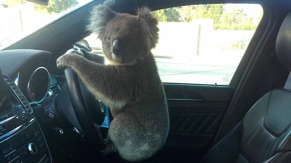 Ein Koala sitzt im Wagen seiner Retterin. Das Tier hat beim Versuch, eine sechsspurige Autobahn zu überqueren, eine Massenkarambolage mit fünf Autos verursacht.