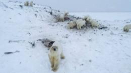 50 Eisbären fallen über Walross-Kadaver her