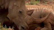 Hoffnungsschimmer für Botsuanas Nashörner
