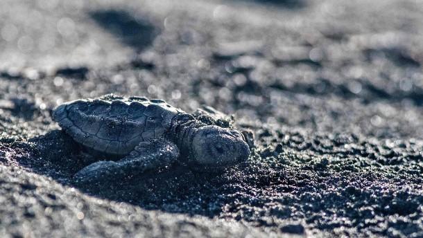 Große Freiheit für kleine Meeresschildkröten