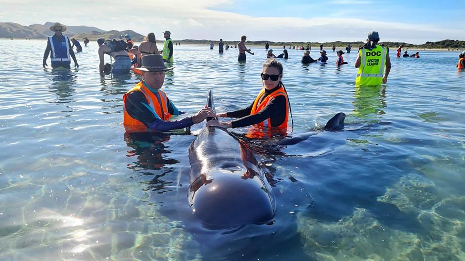 Freiwillige bildeten eine Menschenkette, um die Wale in tieferes Wasser zu treiben.