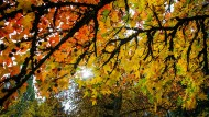 Robuste Stadtbewohner: Der Amerikanischer Amber mit einer prächtigen Herbstfärbung.