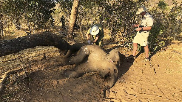 Rätsel um massenhaftes Elefantensterben