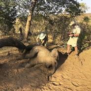 Obduktion: Tierärzte in Zimbabwe untersuchen einen toten Elefanten.