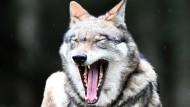 Um ihre Herden vor dem Wolf zu schützen, errichten Schäfer Elektrozäune.