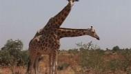 Hilfe für die letzten Westafrikanischen Giraffen