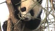 Olympia könnte zur Rettung der Pandas beitragen