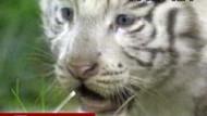 Bisher noch namenlos: Weißes Tigerbaby in Buenos Aires