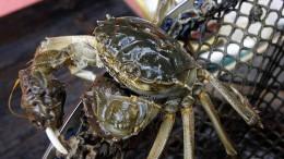 Eingeschleppte Krabben sollen auf den Teller