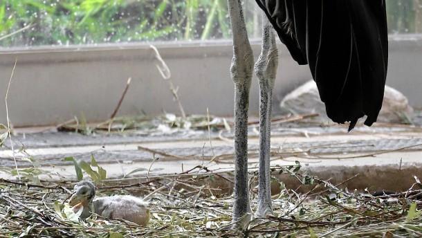 Seltener Marabu-Nachwuchs im Frankfurter Zoo