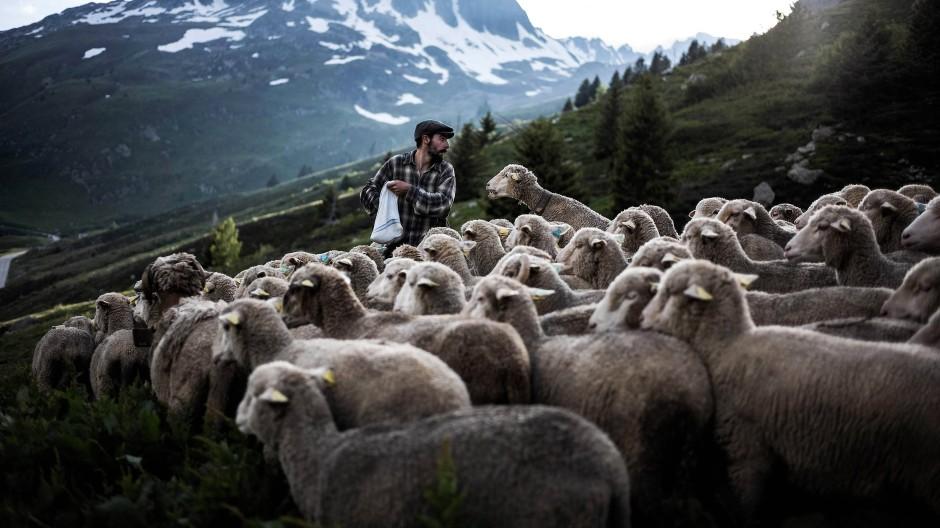 Mit Salz lockt der Hirte seine Schafe zur Weide.