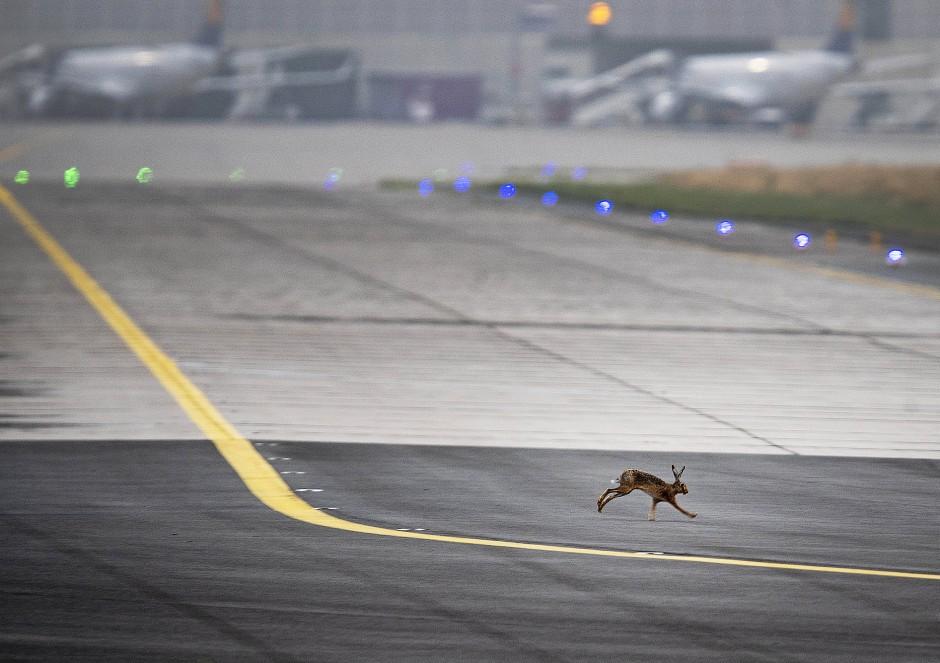 Schnell weg: Ein Hase springt über ein Rollfeld des Frankfurter Flughafens.