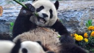 Traumatisierte Pandas nach dem Beben-Stress