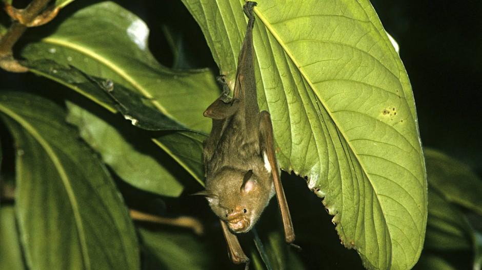 Commersons Hufeisennase (Macronycteris commersoni) ist eine Spezies, die ausschließlich auf Madagasgar heimisch ist.