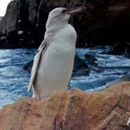 Auf den Galapagos-Inseln ist ein seltener, komplett weißer Pinguin entdeckt worden.