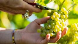 Winzer streiten über das neue Weinrecht