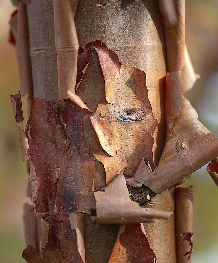 Nicht nur das Laub lässt den Garten erstrahlen, auch Baumrinden können ein Blickfang sein.