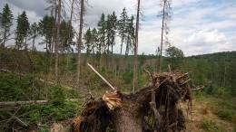 Ein Käfer erzwingt den Waldumbau