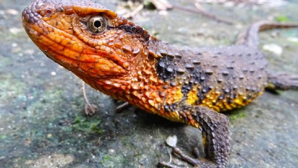 Schneckenfresser und Krokodilschwanz