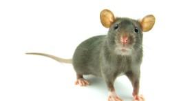 Ratten lernen aus ihren Fehlern