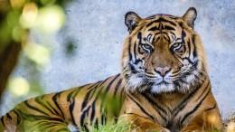 Die Tiger langweilen sich