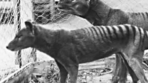 Ein Hauch des Tasmanischen Tigers