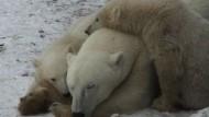 Norwegen fordert Kampf gegen Klimawandel zum Schutz der Eisbären