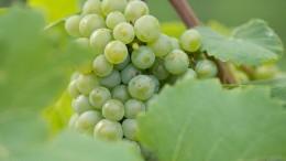 Weinlese in Norddeutschland beginnt