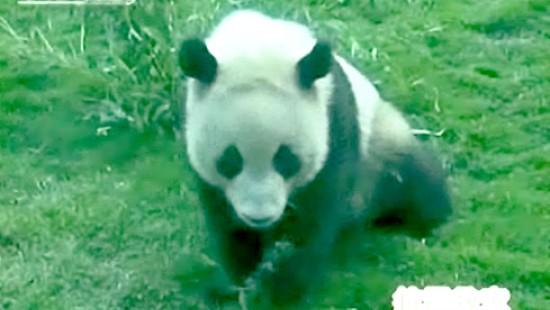 Pandabären aus Erdbebenregion gerettet
