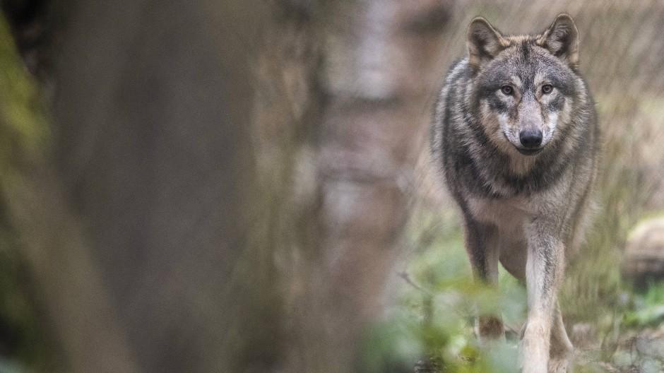 Die Hessen werden lernen müssen, wieder mit dem Wolf im Wald zu leben.
