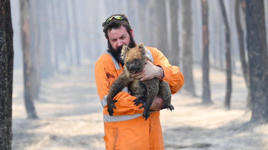 Emotionale Bilder: Ein Wildtierretter trägt einen verletzten Koala aus einem brennenden Wald auf Kangaroo Island in Australien.