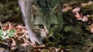 Gefährdete Samtpfote: eine Wildkatz in einem hessischen Waldstück