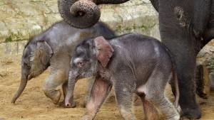 Tierschützer werfen Zoo Misshandlung von Elefanten vor
