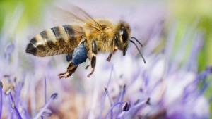 Die komplexe Sprache der Bienen