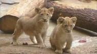 Löwennachwuchs im Zoo
