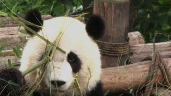 China sucht den Panda-Pfleger
