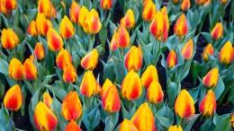Tulpenfestival spendet Blumen für Corona-Helfer