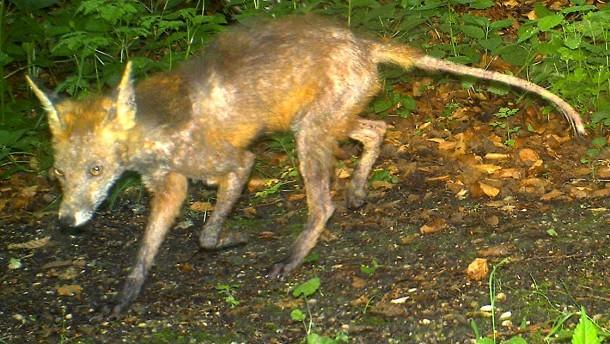 Viele Fälle von Fuchsräude
