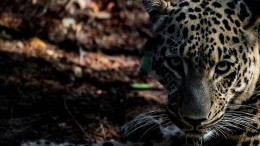 Seltener Leoparden-Nachwuchs in Lissabon