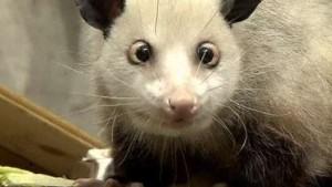 Schielendes Opossum avanciert zum Medienstar