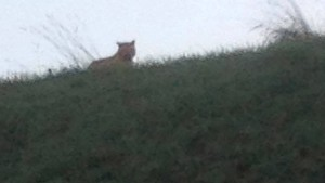 Jetzt doch kein Tiger, aber die Suche geht weiter
