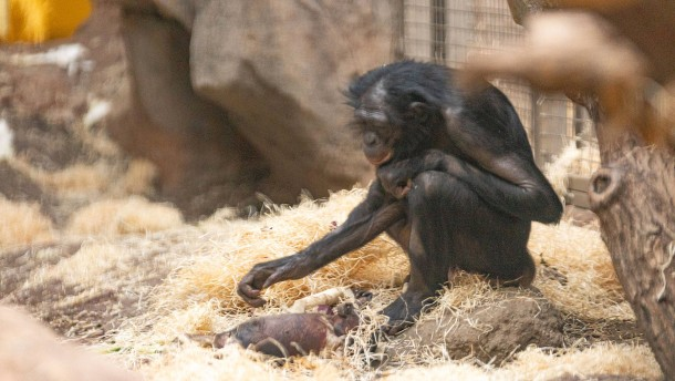Affenmutter lässt totes Junges nicht los